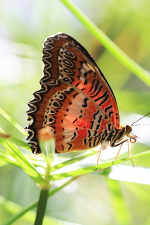 lacewing: leopard lacewing,Gran Canaria,Spain Stock Photo