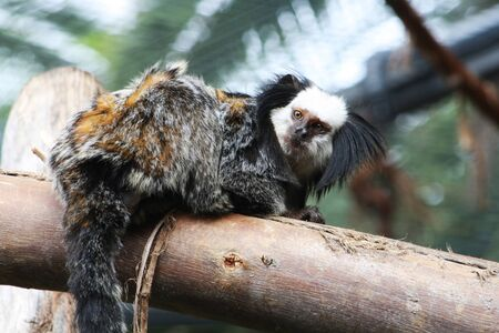 white headed: white-headed marmoset,Gran Canaria,Spain