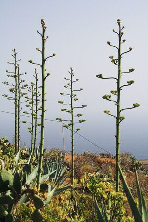 tracheophyta: agave americana,Gran Canaria,Spain Stock Photo