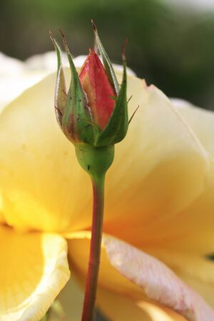 spermatophytina: rose and rose bud,Gran Canaria,Spain Stock Photo