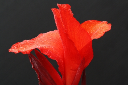 spermatophytina: canna indica,Gran Canaria,Spain Stock Photo