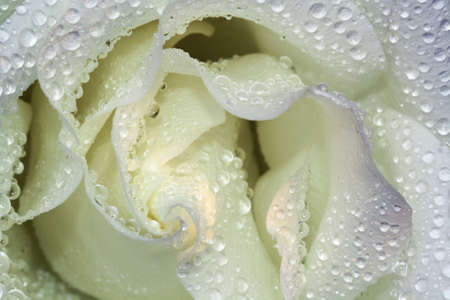 rosales: rose and rose bud,Gran Canaria,Spain Stock Photo