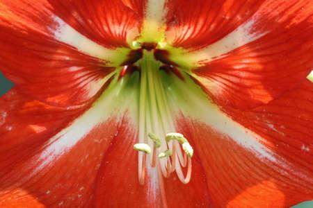 spermatophytes: amaryllis,Gran Canaria,Spain