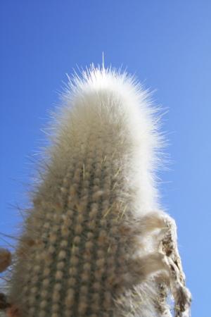 spermatophytes: cactus cleistocactus strausii,Gran Canaria,Spain Stock Photo