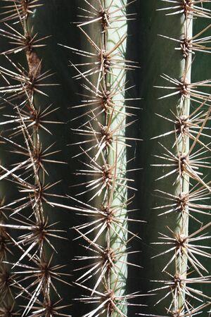 tracheophyta: cactus,Gran Canaria,Spain Stock Photo