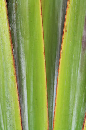 spermatophytina: palm,Gran Canaria,Spain