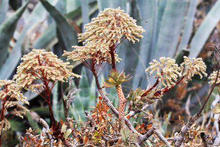 spermatophytes: aeonium percarneum,Gran Canaria,Spain