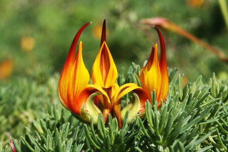 maculatus: lotus maculatus