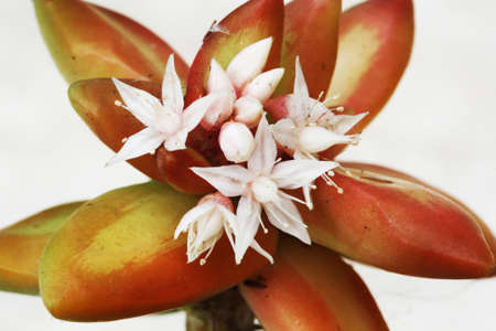 crassulacea: crassula Stock Photo