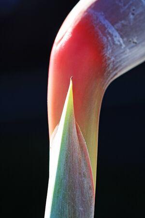 spermatophytina: paradise bird flower