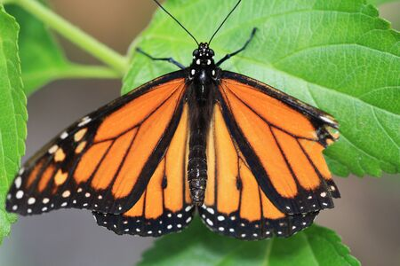 plexippus: monarch butterfly,Gran Canaria,Spain