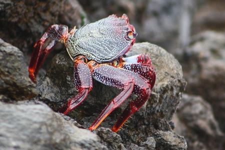 decapod: crab,Gran Canaria,Spain