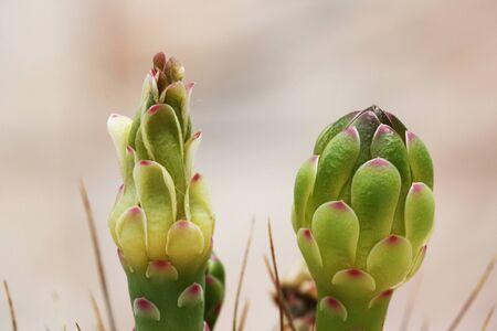spermatophytina: cactus gymnocalycium mihanovichii,Gran Canaria,Spain