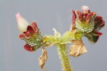 spermatophytina: mesembryanthemum crystallinum,Gran Canaria,Spain