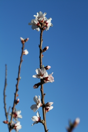 almond blossom,Gran Canaria,Spain photo