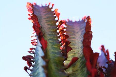 tracheophyta: euphorbia trigona