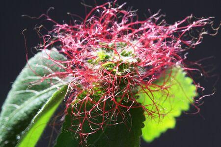 tracheophyta: chenille plant,Gran Canaria,Spain