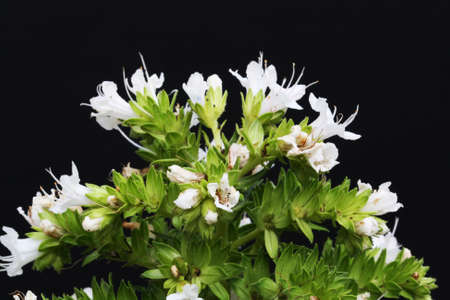 echium decaisnei,Gran Canaria,Spain Stock Photo - 16636072