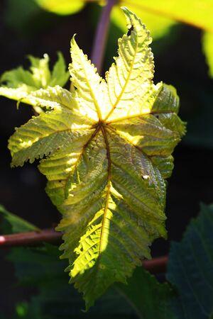 spermatophytina: castor oil plant,Gran Canaria,Spain Stock Photo
