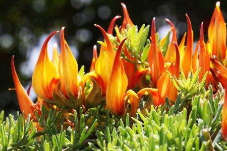 maculatus: lotus maculatus,Gran Canaria,Spain
