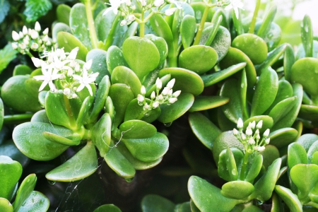 crassula ovata: money plant,Gran Canaria,Spain