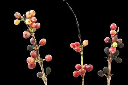 spermatophytina: coffea arabica,Gran Canaria,Spain Stock Photo