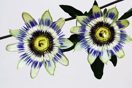 passifloracea: passion flower,Gran Canaria,Spain