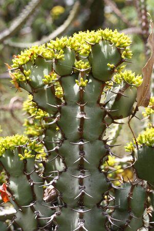 core eudicots: euphorbia caerulescens,Gran Canaria,Spain Stock Photo