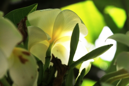 spermatophytina: plumeria alba,Gran Canaria,Spain Stock Photo