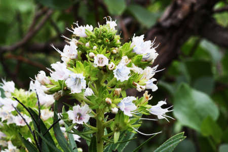 echium decaisnei,Gran Canaria,Spain Stock Photo - 16906513