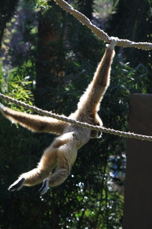 handed: white-handed gibbon,Gran Canaria,Spain