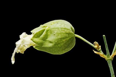 spermatophytina: silene vulgaris, Gran Canaria,Spain