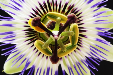passion flower,Gran Canaria,Spain