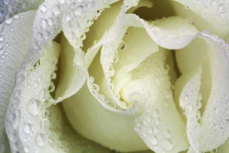 kerneudikotyledonen: rose and rose bud,Gran Canaria,Spain Stock Photo
