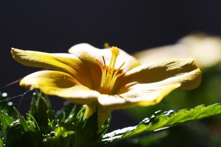 turneroidea: turnera ulmifolia,Gran Canaria,Spain