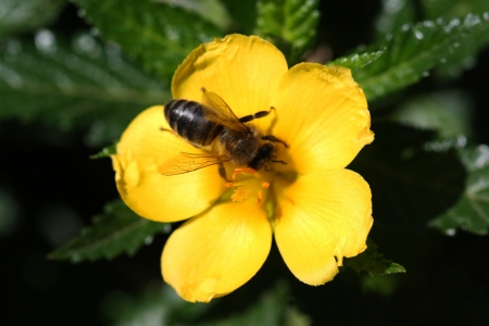 turnera ulmifolia,Gran Canaria,Spain