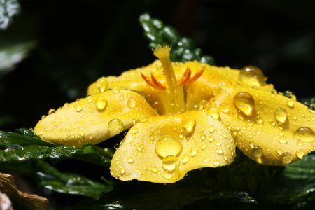 turnera ulmifolia,Gran Canaria,Spain Stock Photo - 17469863