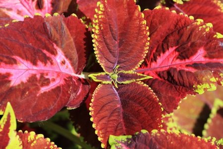 coleus,Gran Canaria,Spain Stock Photo - 17470385