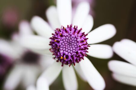 core eudicots: pericallis webbii,Gran Canaria,Spain Stock Photo