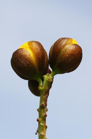 tracheophyta: senna didymobotrya,Gran anaria,Spain Stock Photo