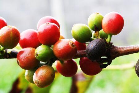 coffea arabica,Gran Canaria,Spain Stock Photo