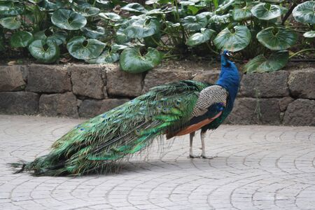 peafowl: indian peafowl,Gran Canaria,Spain