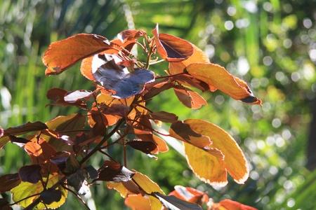 spermatophytina: acalypha wilkesiana,Gran Canaria,Spain