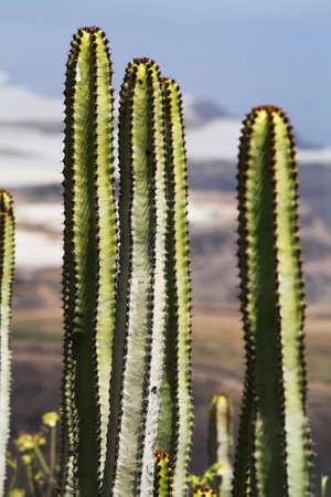tracheophyta: euphorbia canariensis,Gran Canaria,Spain