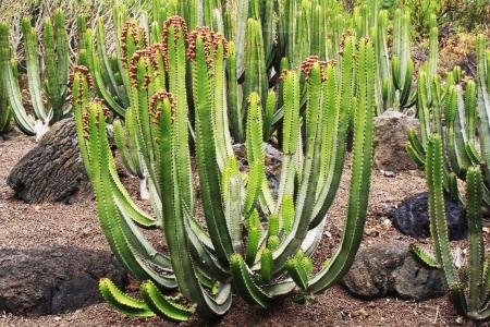 canariensis: euphorbia canariensis,Gran Canaria,Spain