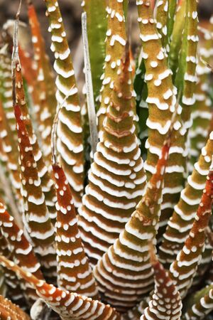tracheophyta: haworthia pumila,Gran Canaria,Spain