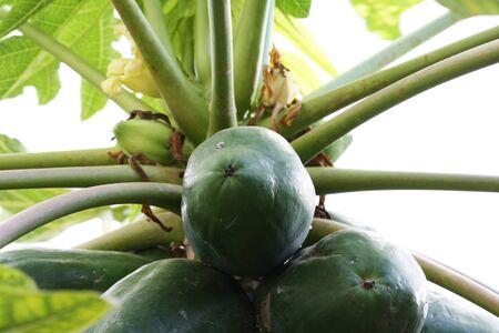 spermatophytina: papaya,Gran Canaria,Spain Stock Photo