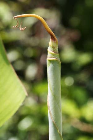 tracheophyta: banana plant,Gran Canaria,Spain