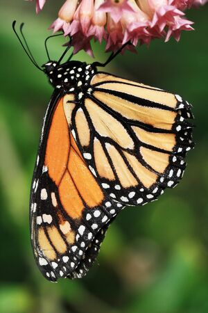 insecta: monarch butterfly,Gran Canaria,Spain