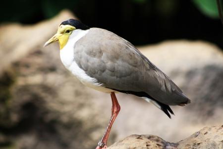 charadriiformes: masked lapwing,Tenerife,Spain